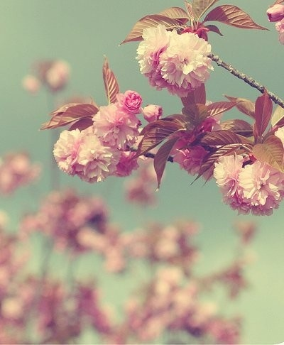 So pretty!Cherries Blossoms, Pink Flower, Flower Sea, Blue, Backgrounds, Colours Schemes, Gardens, Pom Pom, Birds