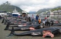 "You may be familiar with Sea Shepherd's former campaigns opposing the drive hunts and mass slaughter of pilot whales and dolphins in the Faroe Islands from Discovery's ""Whale Wars"" spin-off ""Viking Shores."" Now, the organization has unveiled a new campaign that they say will be their largest Faroes operation to date: Grind Stop 2014."