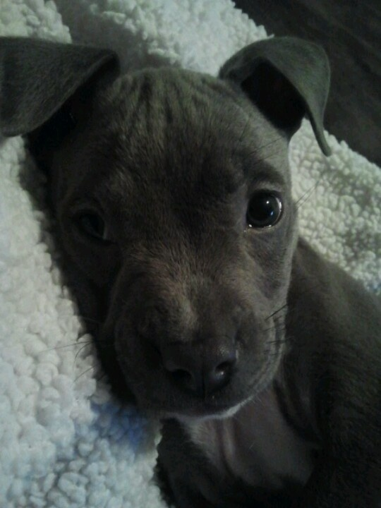 My sweet blue nose pitbull pup Rocco.