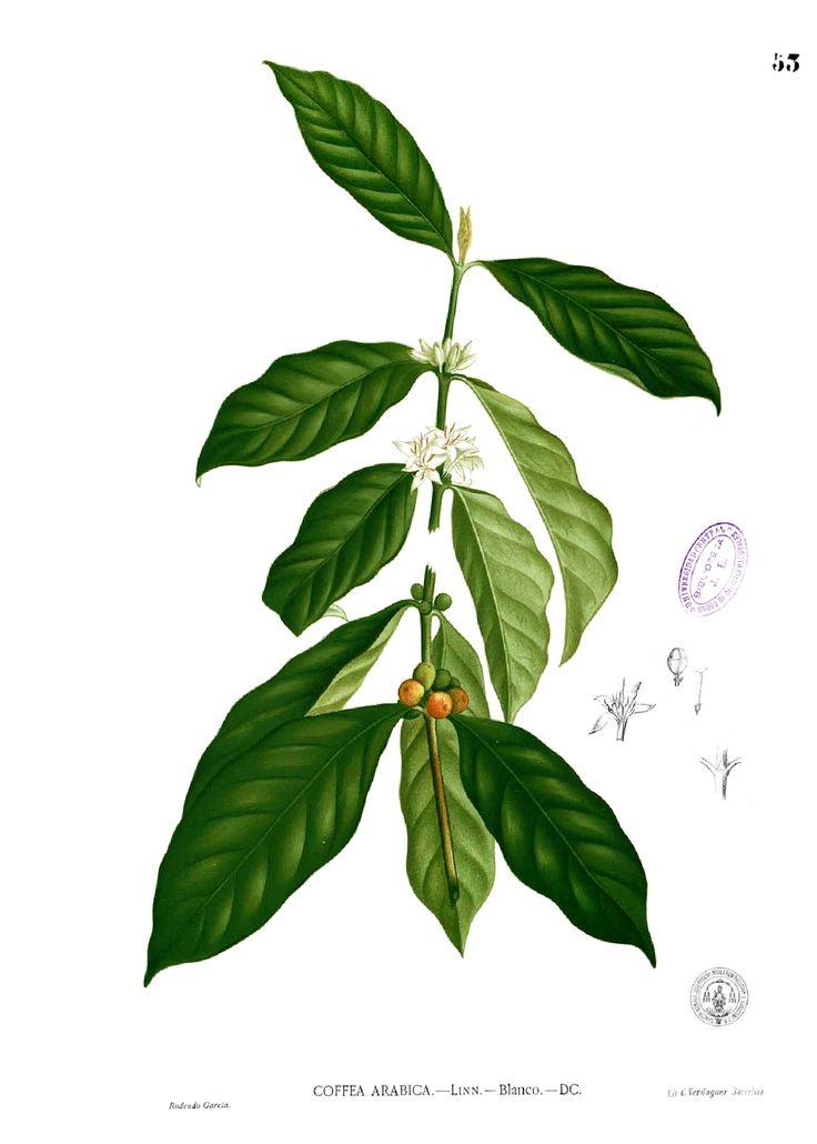 everything about coffee | make myself: Coffee plantation, deployed...