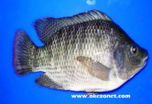 Prospek Budidaya Ikan Nila dan Teknologi Budidaya Ikan Nila - okezonet.com | okezonet.com