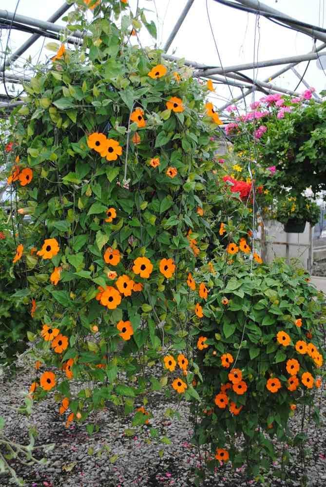 Black Eyed Susan Vine Hanging Baskets Garden Pinterest