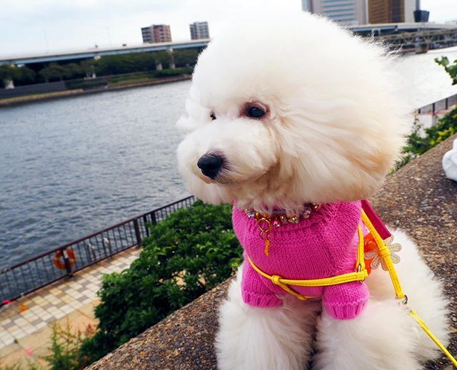 昨日が犬の日だったんだ🐶💦 fleurの誕生日まであと少し…💓 * * *  #トイプードル #プードル #ホワイトプードル #プードルホワイト #トイプードル部 #白ぷー #白プー #犬 #いぬ #イヌ #dog #愛犬 #大切 #癒し #かわいい #ふわふわ #ふわもこ部 #ふわもこ部ワンコ #いぬなしでは生きていけません #いぬバカ #いぬばか部#instapoodle #instadog #instagood #犬の日 #隅田川 #お散歩日和