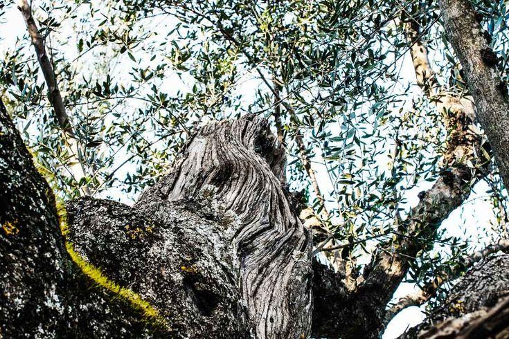 http://andelea.gr/wp-content/uploads/2013/03/and_30.jpg Andelea Estate Premium Extra Virgin Olive Oil