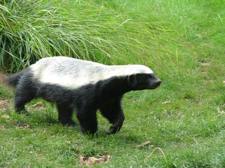 Ratel / Honey Badger (Mellivora capensis) -  Howletts Wild Animal Park Gallery