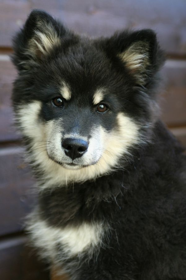 Finnish Lapphund, ...just speaks with beautiful eyes.