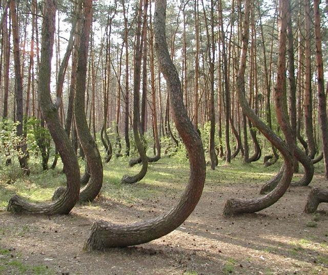 Los misteriosos árboles curvados de Nowe Czarnowo En las proximidades de la localidad de Nowe Czarnowo (Polonia) se encuentra este pequeño bosque de cuatrocientos pinos. Su singularidad es que en la base todos sus troncos aparecen doblados en un ángulo de  90 grados al norte.