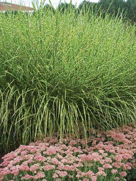98 best garden grasses images on pinterest for Landscaping with zebra grass