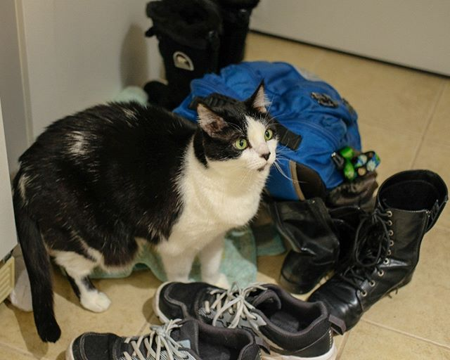 Gordy is queen of the shoes! #cute #queen #cat #gordy