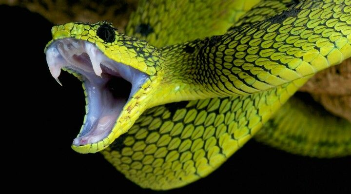 Snake's teeth/fangs r kinda weird & cool at the same time