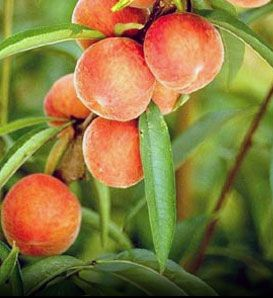 17 Best Images About Peach Trees On Pinterest Gamebirds