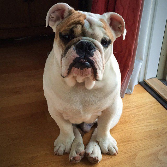 Pin for Later: The 10 Most Expensive Dog Breeds English Bulldog Puppy price: $2,400 to $3,200