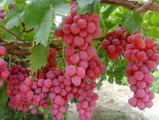 Giant Red Globe Raisin 10 fruits frais graines
