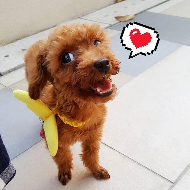 teacup baby Mr. MonMon😀😁😃😄💛 . . . . #poodle#toypoodle#teacup#furbabies#furbaby#family#dog#dogs#pet#love#happy#cute#貴婦 #玩具貴婦#茶杯貴婦#teacuppoodle #愛犬#犬#sweet#summer#corgi#AlaskanMalamute#malamute #husky#哥基#雪橇#阿拉斯加