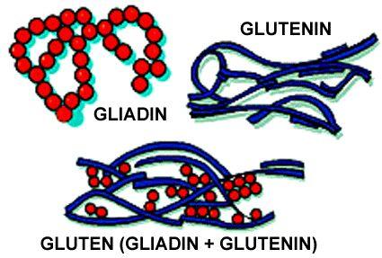 glutenin & gliadin