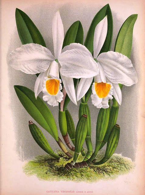 """Olímpia Reis Resque: Esse complexo mundo vegetal... """"...outras, verdadeiramente inofensivas, fazem-se mesmo magnânimas, recompensando com uma floração esplêndida o bom gasalhado que lhe deram as companheiras, o que acontece com a linda cebola-brava e com quase todas as orquídeas..."""". Texto de Gastão Cruls (1888-1959). Ilustração em Lindenia iconographie de orchidées. v. 3, 1887. BHL. No Blog olimpiareisresque.blogspot.com"""