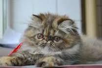 Imagini pentru pisica persana pui