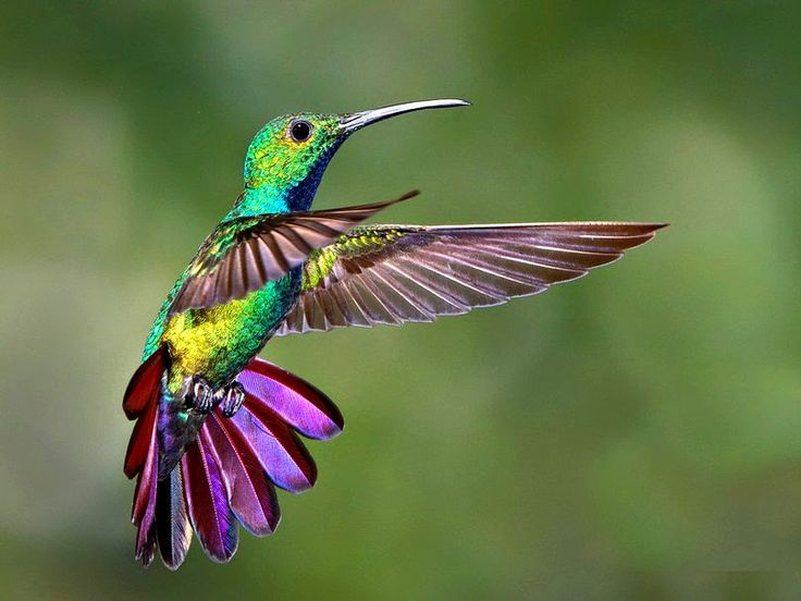 Quelques petites choses au sujet du colibri : records, anatomie et évolution. ~ Sweet Random Science
