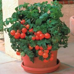Container-Grown Tomatoes
