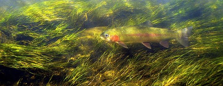 Claude Steelman -Rainbow Trout