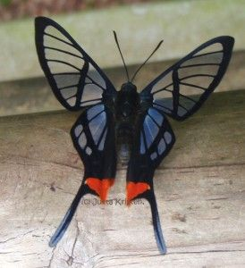 I love the see-through butterflies and moths. (Octauius Swordtail) (Lepidoptera, Riodinidae, Chorinea octauius)