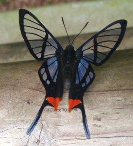 I love the see-through butterflies and moths. (Octauius Swordtail)    (Lepidoptera, Riodinidae, Chorinea octauius)