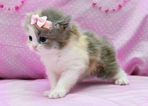 69 best images about OMG~~~ Teacup Kitties~~~ on Pinterest