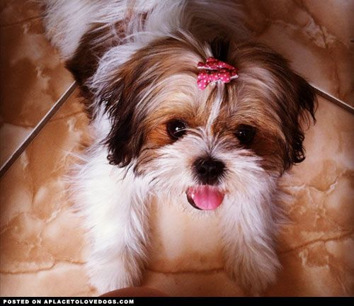 Cute Lhasa Apso • APlaceToLoveDogs.com • dog dogs puppy puppies cute doggy doggies adorable funny fun silly photography