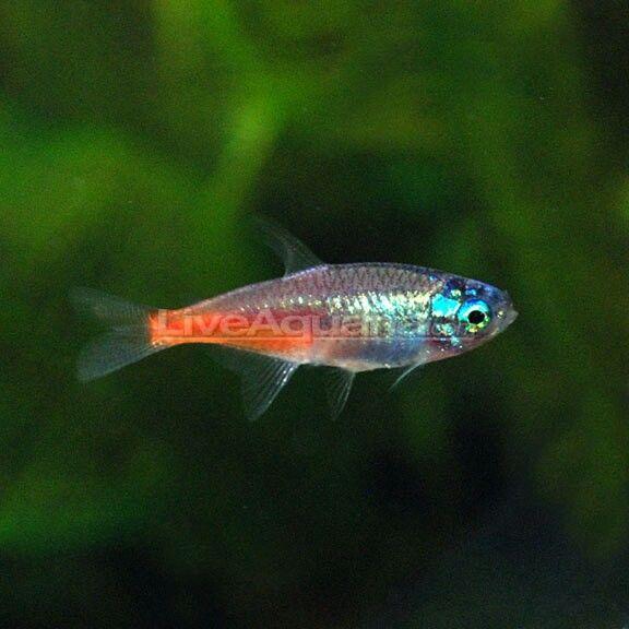 Diamond Head Neon Tetra Neon Tetra Freshwater Aquarium Tetra