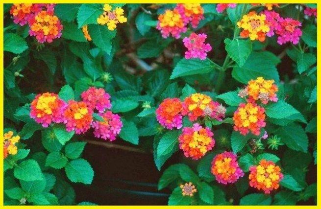 Tanaman Hias Gantung Merambat Tanaman Hias Gantung Tahan Panas Bunga Lantana Camara Bunga Lantana Ungu Bunga Lantana Kuning Menanam Tanaman Menanam Bunga