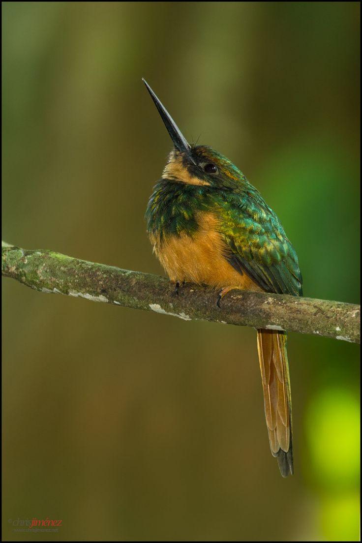 Rufous-tailed Jacamar - Sarapiqui, Costa Rica,