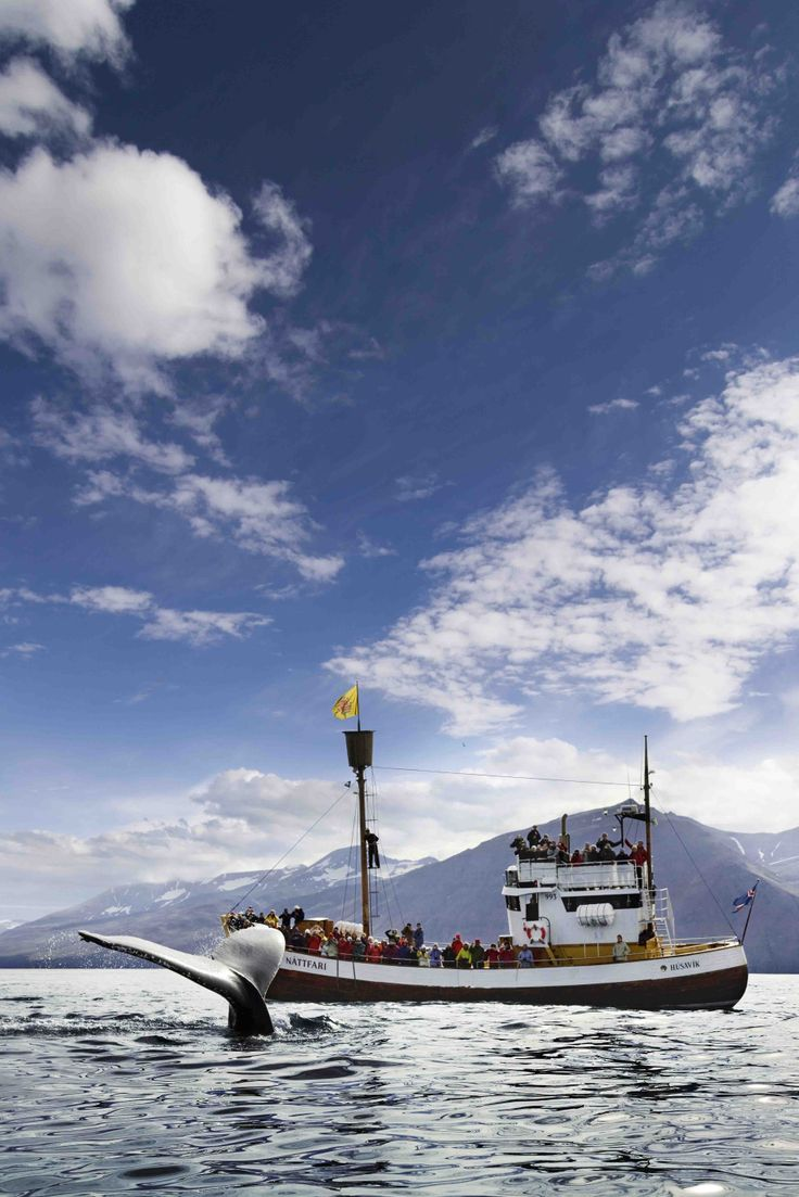 Check out the original Húsavík Whale Watching tour here in Iceland. #arcticadventures #iceland