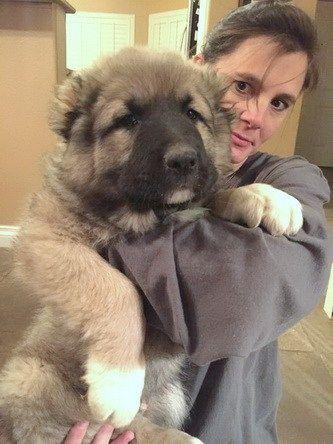 caucasian ovcharka puppy for sale #caucasianshepherd #puppies
