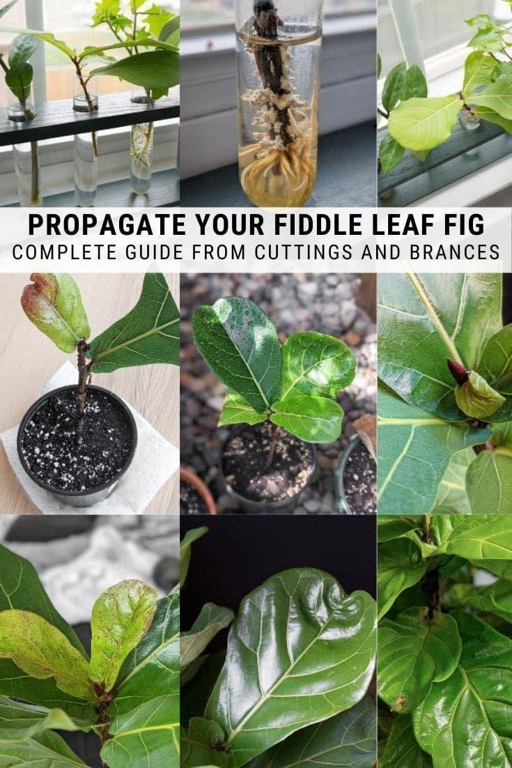 Fiddle Leaf Fig Propagation Everything You Need To Know Fiddle Leaf Fig Fiddle Leaf Fiddle Leaf Fig Tree