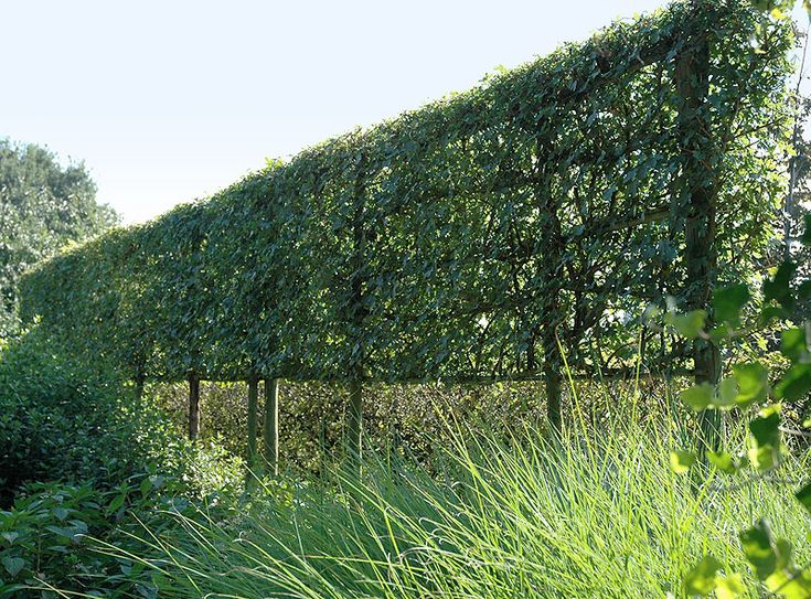 Acer campestre - Trained as a Living Fence