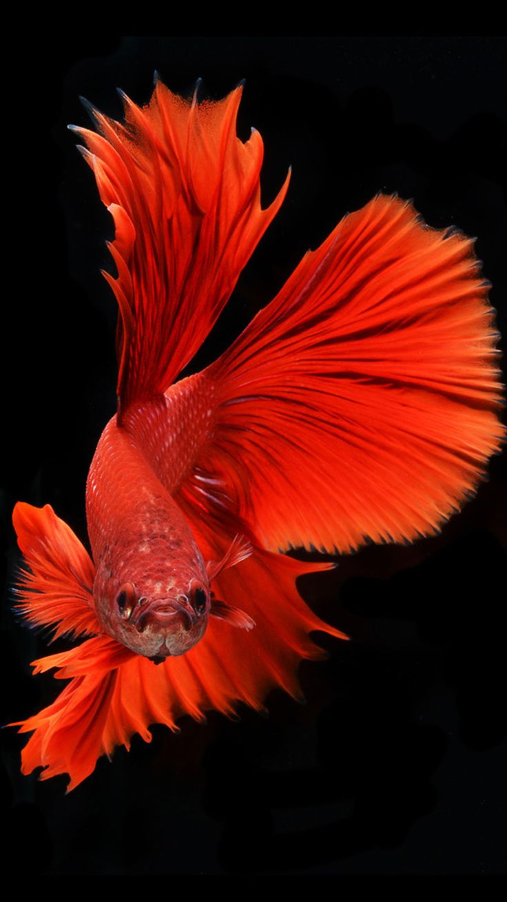 Apple iPhone 6s Wallpaper with Red Veil-Tail Betta Fish in ...