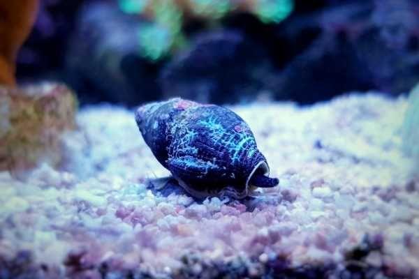 Reef Aquarium Zombies Nassarius Snail In 2021 Reef Aquarium Saltwater Aquarium Herbivores