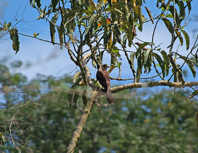 FALCONIDAE - Milvago chimachima (imm.) - Yellow-headed caracara - Caraco (Pígua) cabeciamarillo 27CMS-96DPI 2   por Reserva Natural Palmari - Official site