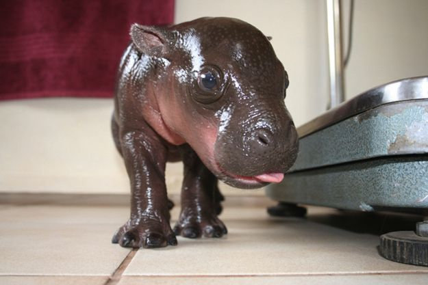 OK, look at this baby hippo. | This Year's 45 Most Lovable Baby Animal Pictures