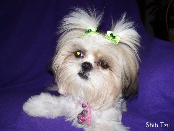 Shih Tzu With Cute Hair Style Do You Love Cute Dogs Like