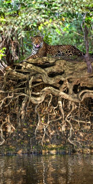 Jaguar resting at the riverside, Three Brothers River, Meeting of the Waters State Park, Pantanal Wetlands, Brazil. Photo: Panoramic Images