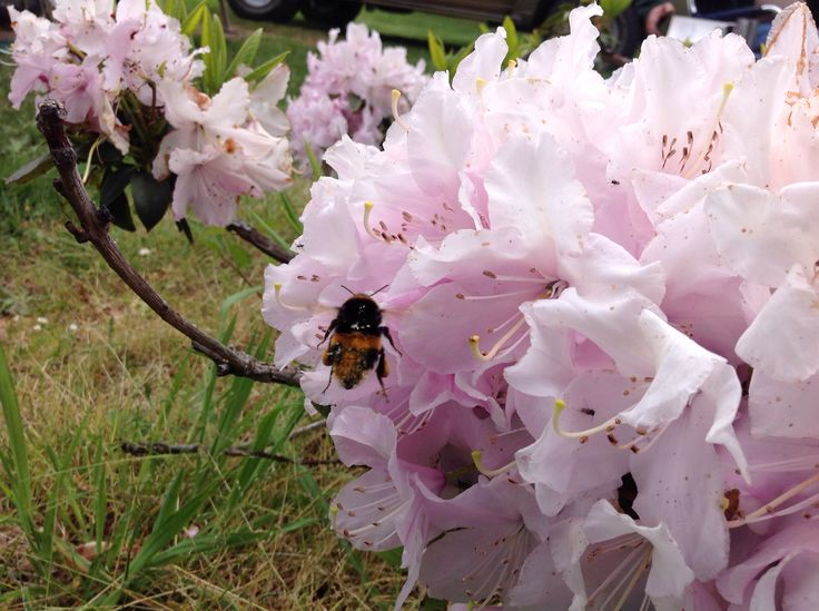 Bumblebee and Rhododendrons at Derby Tasmania