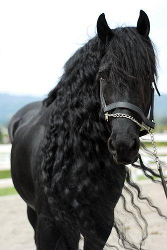 Portrait of a Friesian Stallion named Tito.
