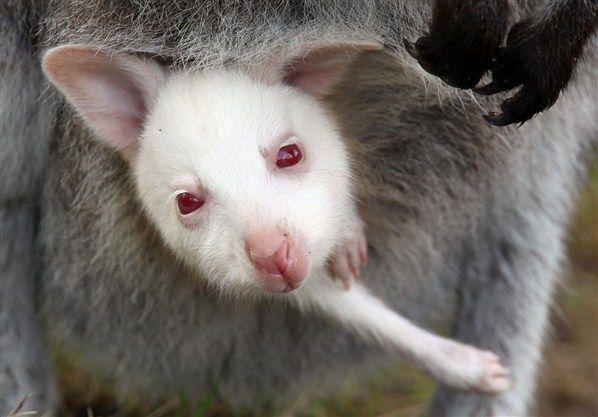 Un petit kangourou albinos dans la poche de sa mère