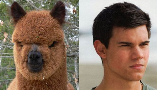 Taylor Lautner is an alpaca: you can't un-see it  @Whitney Potter  this made me think of you,Whit :)