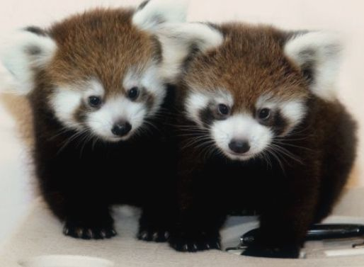 baby red pandas | Funny/True | Pinterest