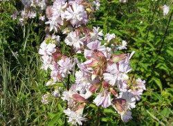 Saponaria officinalis 'Rosea Plena'  Mydlice lékařská