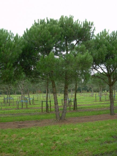 Pinus pinea #tree #multitrunk #multistem www.vdberk.co.uk