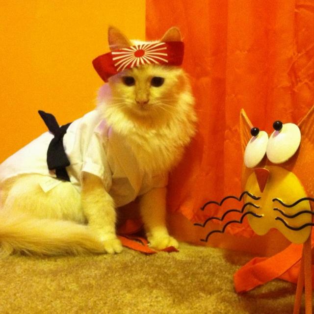 siamese samurai cat jaxs halloween costume silly cats