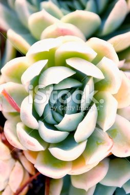 'Hens and Chicks' Succulent in soft focus Royalty Free Stock Photo